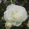 Picture of Scott Base Std 45cm-Rose