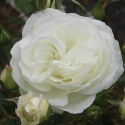Picture of Scott Base Std 80cm-Rose