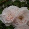 Picture of Seafoam Std 1.8m Weeper-Rose