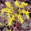 Picture of Sedum Purpurea