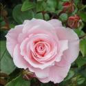 Picture of Shangri La-Rose