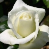 Picture of Silver Anniversary Std 80cm-Rose