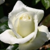 Picture of Silver Anniversary-Rose