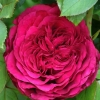 Picture of Simply Stunning-Rose