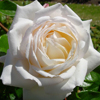Picture of Sir Edmund Hillary Clg-Rose