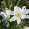 Picture of Sisyrinchium Snow Drift