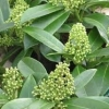 Picture of Skimmia Kew Green