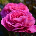 Picture of Skyla Rose-Rose