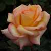 Picture of Solitaire-Rose