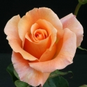 Picture of Special Occasion-Rose