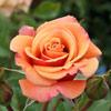 Picture of Speks Centennial-Rose