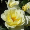 Picture of St Marys Rose-Rose