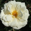 Picture of St Pauls Cathedral Std 80cm-Rose
