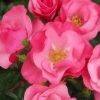 Picture of Star Quality-Rose