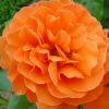 Picture of Star of Courage Std 80cm-Rose