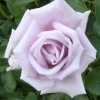 Picture of Starlight-Rose