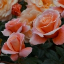 Picture of Strawberry Blonde Std 80 cm-Rose