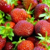 Picture of Strawberry Camarosa Bundles