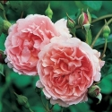 Picture of Strawberry Hill Std 80cm-Rose