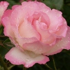 Picture of Strawberry Ice Std 80cm-Rose
