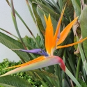 Picture of Strelitzia Reginae