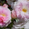 Picture of Such Sweet Memories Std 80cm-Rose