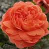 Picture of Summer Song-Rose