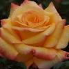 Picture of Sunline Std 80cm-Rose