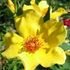 Picture of Sunny June-Rose