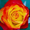 Picture of Sunset -Rose