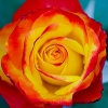 Picture of Sunset Std 80cm-Rose