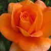 Picture of Super Trouper Std 80cm-Rose
