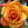 Picture of Sutters Gold Clg-Rose