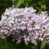 Picture of Syringa Clarkes Giant