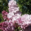Picture of Syringa Ester Stanley