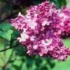 Picture of Syringa Marechal Foch
