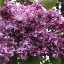 Picture of Syringa Mrs Edward Harding