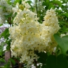 Picture of Syringa Primrose