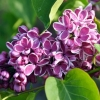 Picture of Syringa Sensation