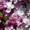 Picture of Syringa Sweetheart