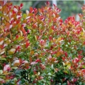 Picture of Syzygium Bronze Hedgemaster