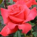 Picture of Tabasco Std 80cm-Rose