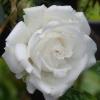 Picture of Taffeta Clg-Rose