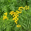 Picture of Tansy