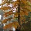 Picture of Taxodium Distichum