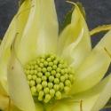 Picture of Telopea Wirrimbirra White