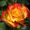 Picture of Tequila Sunrise Std 80cm-Rose