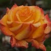Picture of Tequila Sunrise-Rose