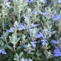 Picture of Teucrium Silver Box