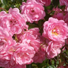 Picture of The Fairy 1.4m Weeper-Rose